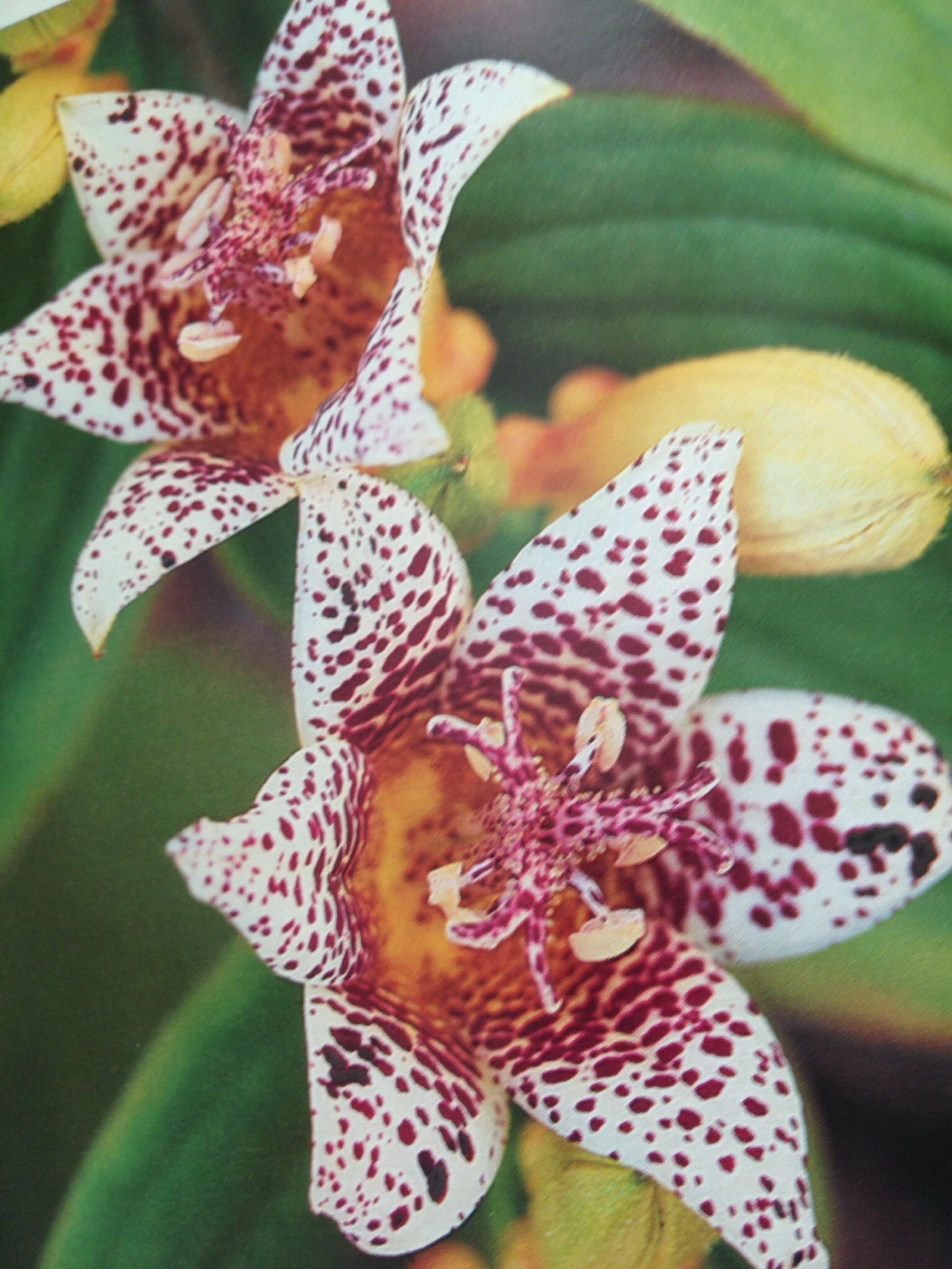 Tricyrtis toad lily flowers pinterest toad flowers and tricyrtis toad lily izmirmasajfo