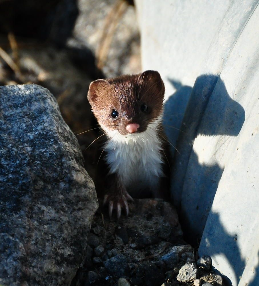 Juvenile ShortTailed Weasel null North american
