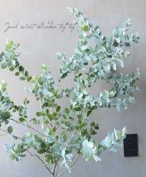 Photo of 待望のコンパクト品種!アカシア・ドルモンディ ミモザ 『モニカ』-Junk sweet Garden tef*tef*