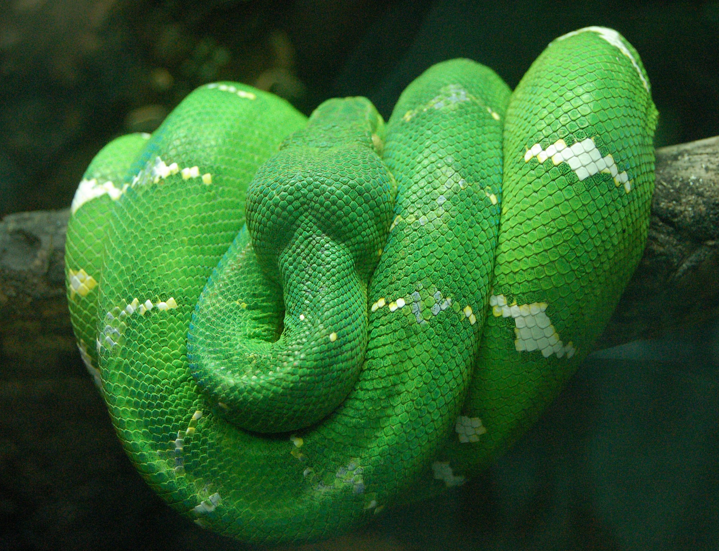 The emerald tree boa, a non-venomous snake which lives in the ...
