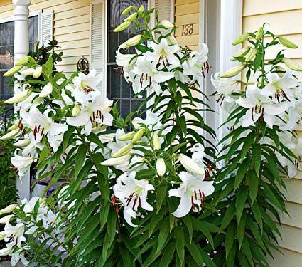 Lily Bulbs-Fragrant Oriental Lily-Casa Blanca White Perennial Home Garden Bonsai