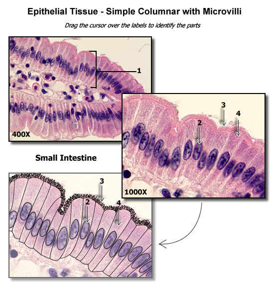 Simple Columnar Epithelium With Microvilli