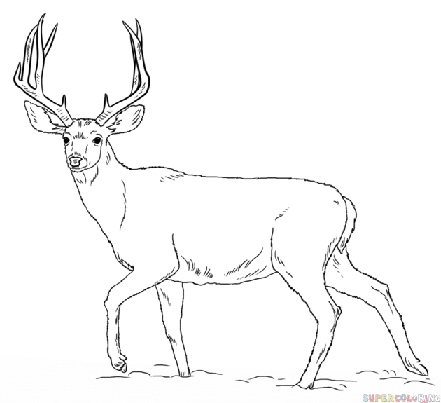 How To Draw A Mule Deer Step By Step Drawing Tutorials For Kids And
