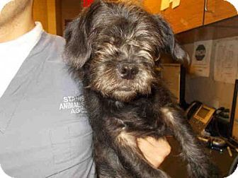 Cairn Terrier Pug Mix Puppy For Adoption In Modesto California