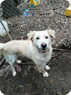 Albany Ny Great Pyrenees Labrador Retriever Mix Meet Quincy A