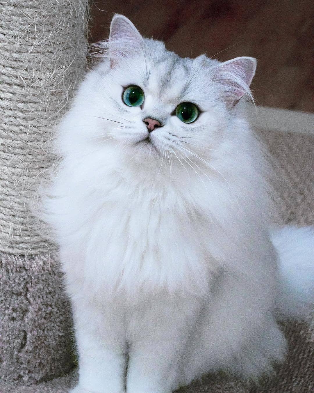She Is Gorgeous Submit Your Cat S Photo To Our Contest Email To Be Featured Notification On Kittens Of W Cute Cats Cats Kittens Cutest