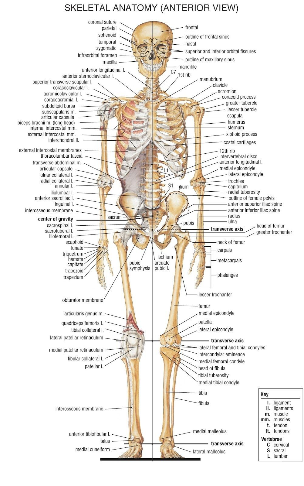 human skeleton labeled bones skeleton | cpt | pinterest | the body, Skeleton