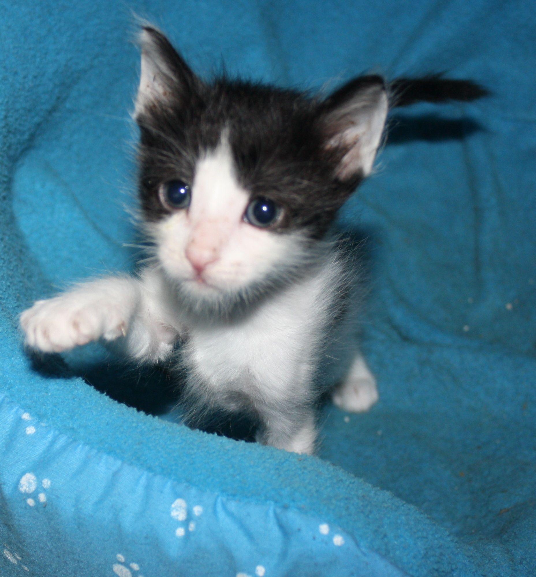 Oreo Lovely Kitten Kittens Kitten Cats