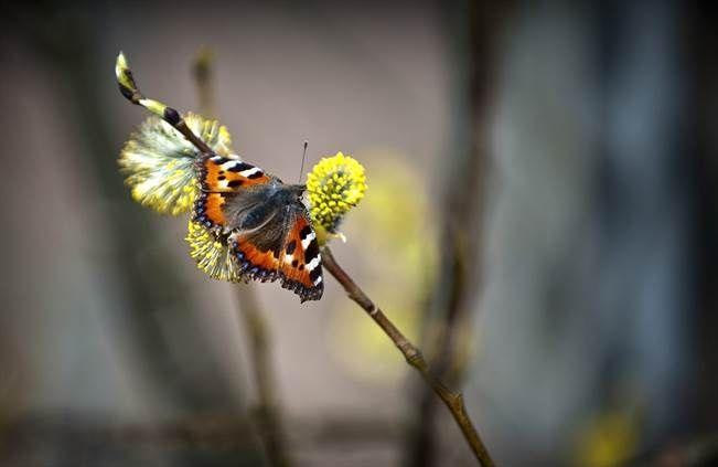 Professori Tari Haahtela muistuttaa, että allergiat ovat harvinaisia alueilla, joilla useat perhoslajit kukoistavat. Nokkosperhonen. TS/arkisto.
