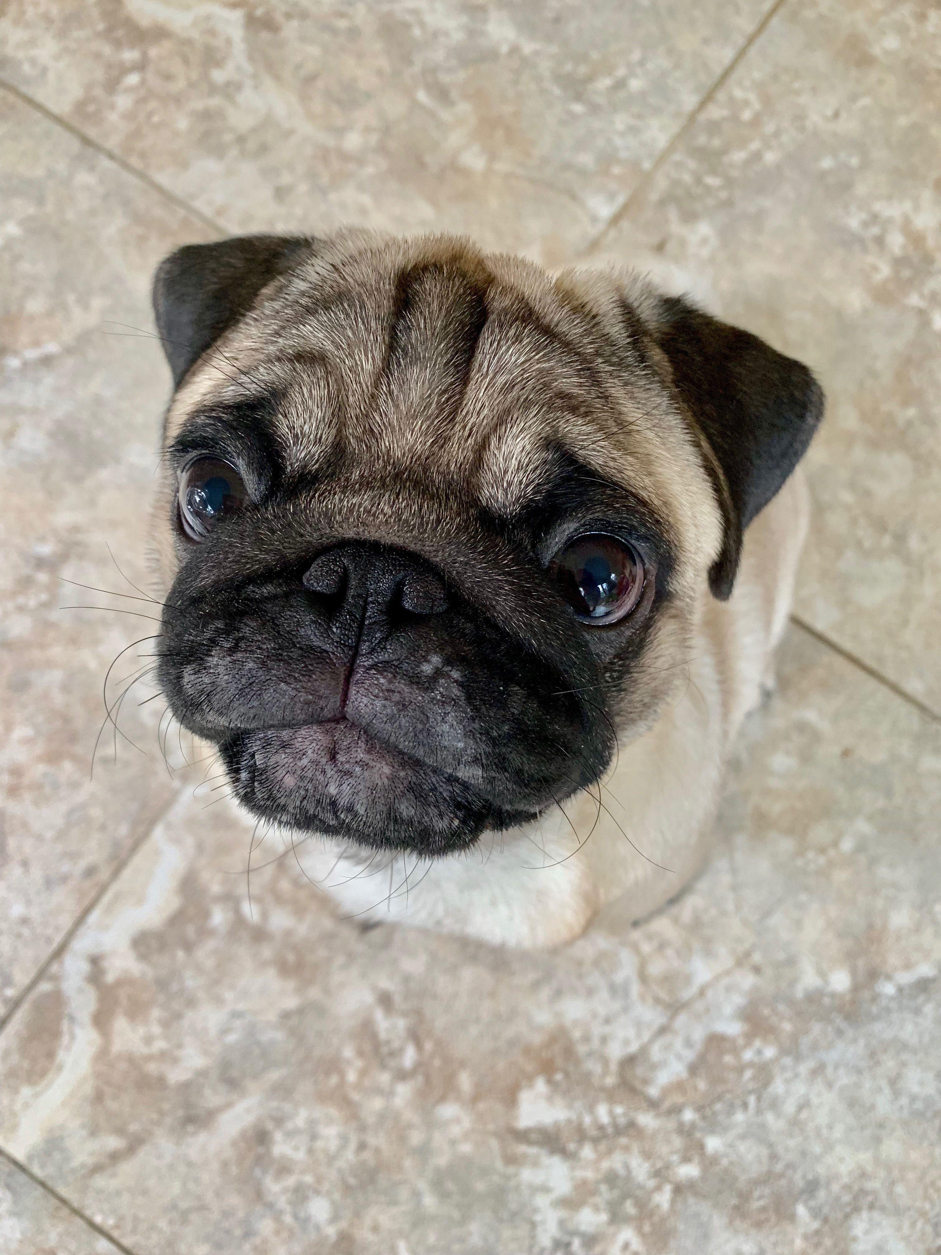 Pugs Are The Very Very Best Pug Memes Pug Love Pug Dog