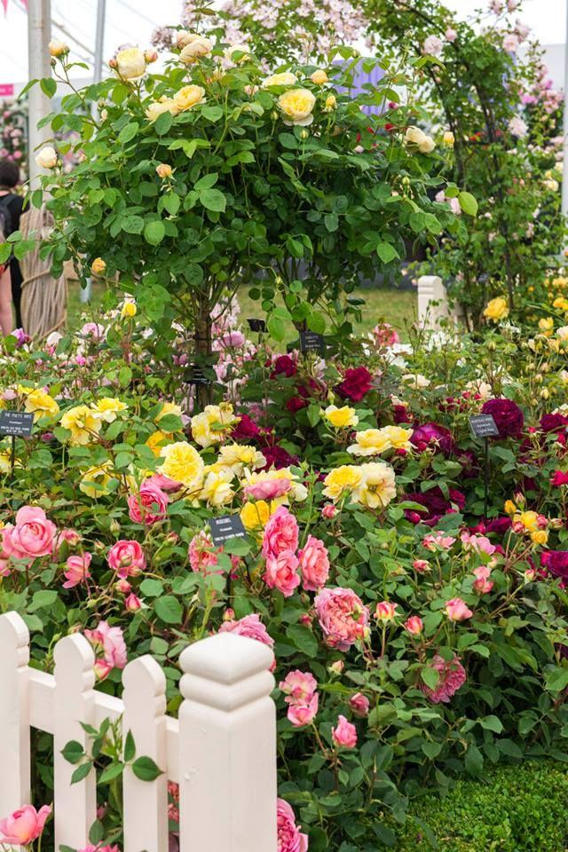 Classic Simplicity Rose Pearls Jeans Rose Garden Design