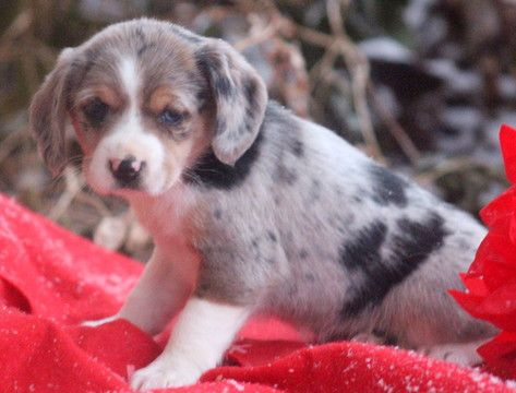 Beagle Miniature Australian Shepherd Mix Puppy For Sale In Mount Joy Pa Adn Australian Shepherd Mix Puppies Miniature Australian Shepherd Australian Shepherd