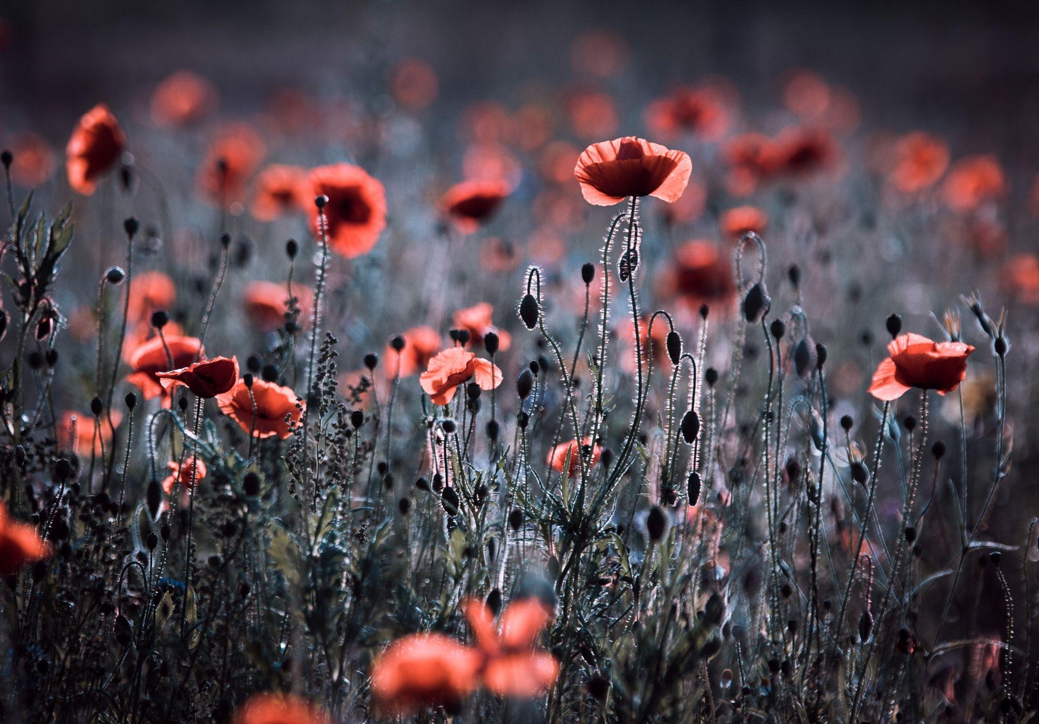Photo By Veronikak On 500px Mit Bildern Blumen Wiese Mohn