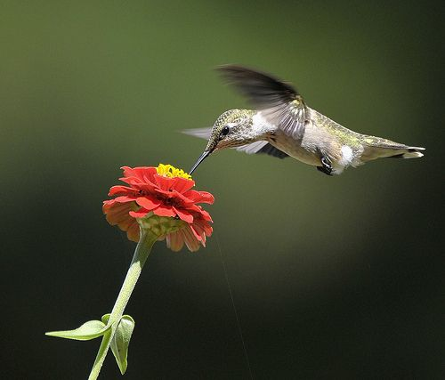 Ruby-throated Hummingbird sipping nectar ~ Sarah's Country Kitchen ~