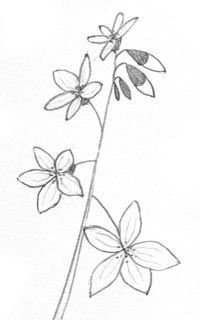 Spring Beauty Wildflower Drawing