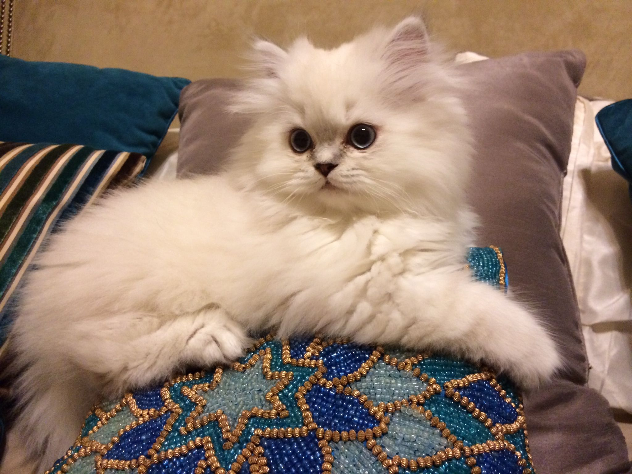Traditional Doll Faced Persian Kitten Blue Lynx Point