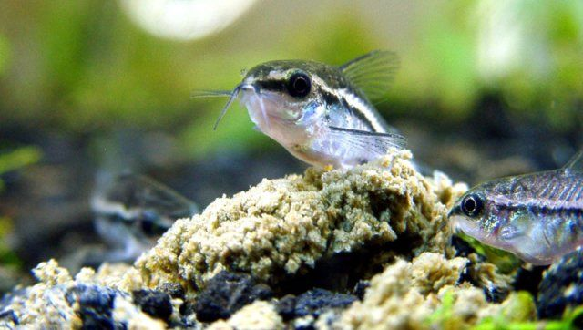 6 Pygmy Cory Aquarium Fish Tropical Fish Aquarium Catfish