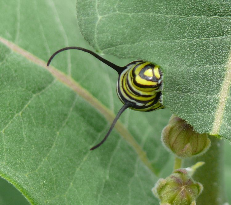 Monarch Caterpillar Eating Milkweed Leaf (2009-07-03 12-52-11a)