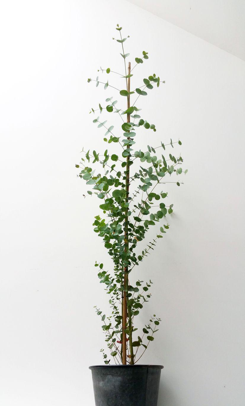 plante eucalyptus deco plantes