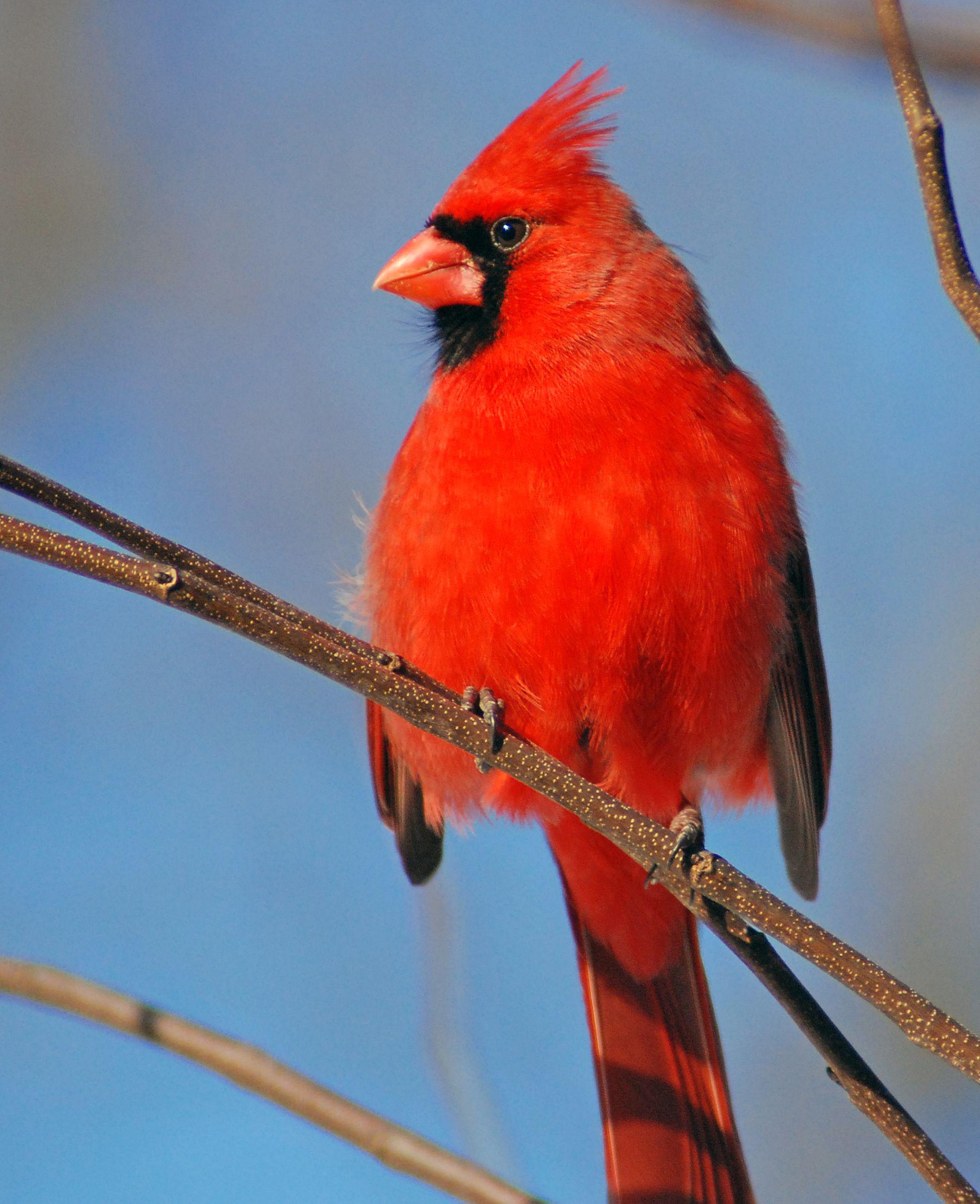 Ohio state bird cardinal aka winter redbird ohio pinterest ohio ohio buycottarizona
