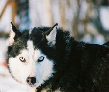 Beautiful White Black Wolf Mix Husky Dogs Siberian Husky