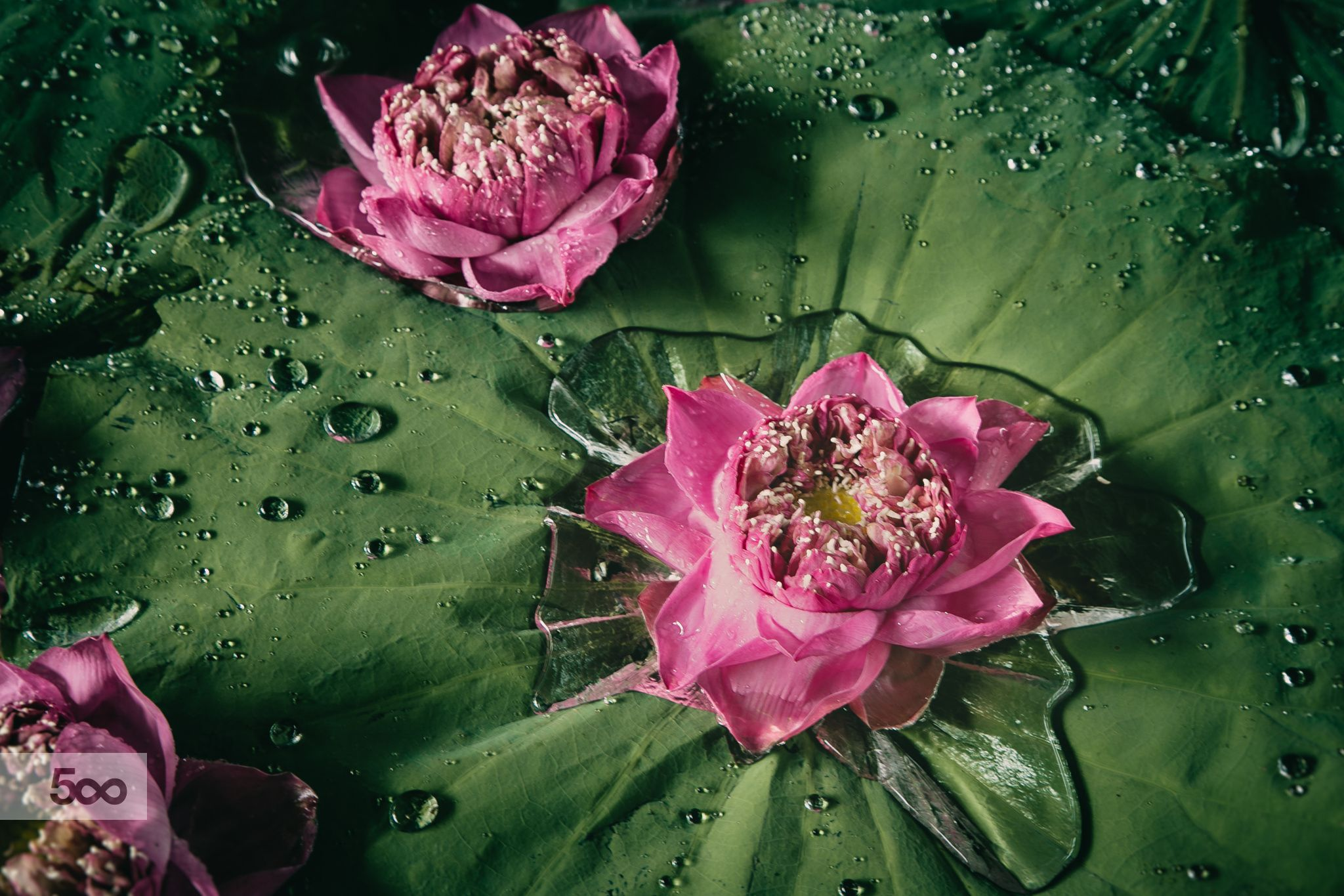 Opening Up To All Of Its Surrounding T He Fully Opened Pink Lotus