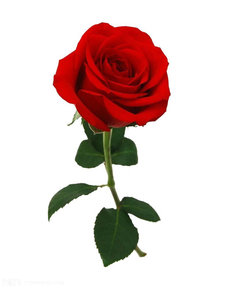 Pin De Shivam Chavda En Oj Rosas Rojas Tumblr Rosa Roja Dibujo Arte Rosa