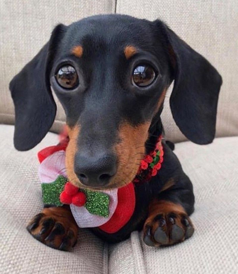 Pin by Gina 👑 on When animals dream... Dachshund puppies