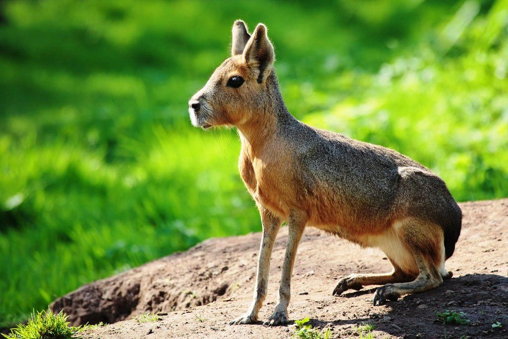 Patagonian Mara… a large herbivorous rodent found in parts of Argentina.
