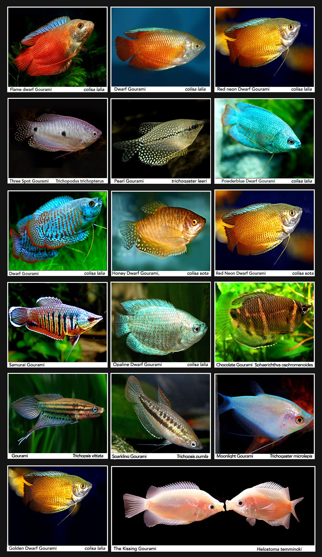 Freshwater aquarium fish list species - Gourami Common Names Will Vary Fish Tank