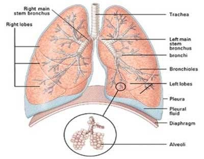 Just a visual reminder. (And remember that the right lung is the ...