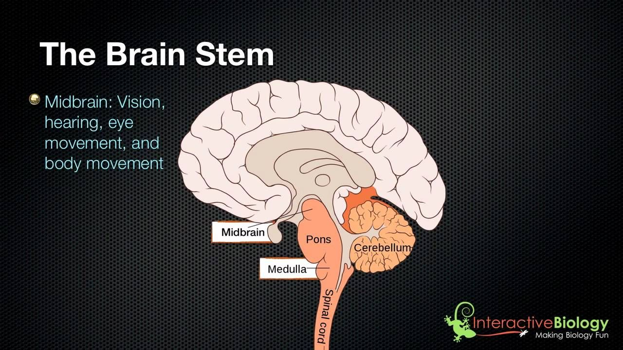 027 The 3 parts of the brain stem and their functions ...