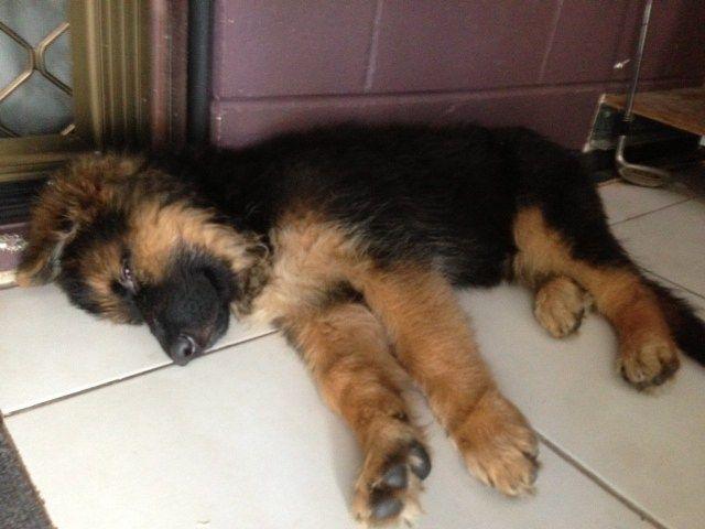 Resultado de imagen para german shepherd sleeping