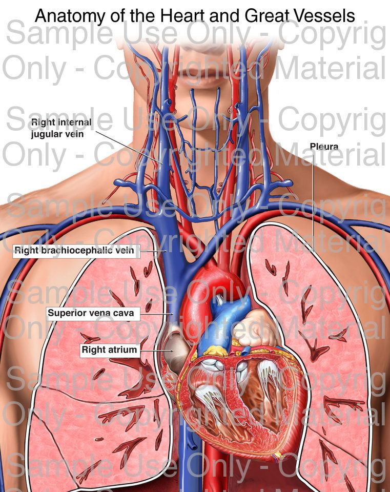 Loading Anatomy Of The Heart And Great Vessels Please Wait