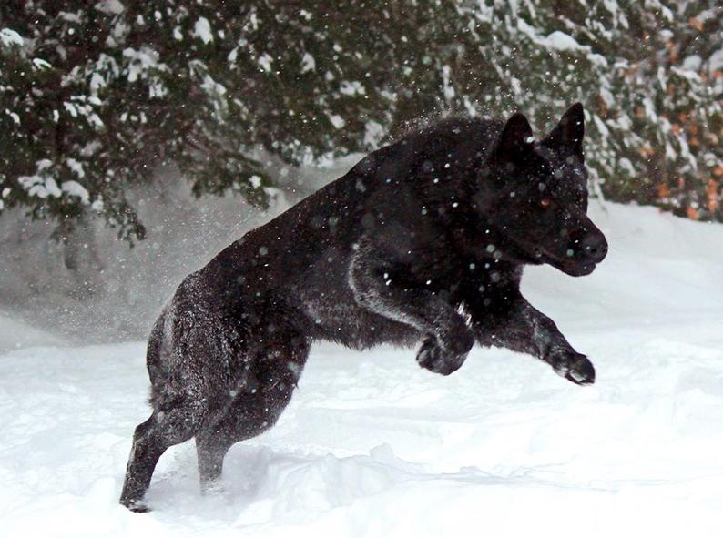 Argo A Black German Shepherd In The Snow Www Protectiondogsplus