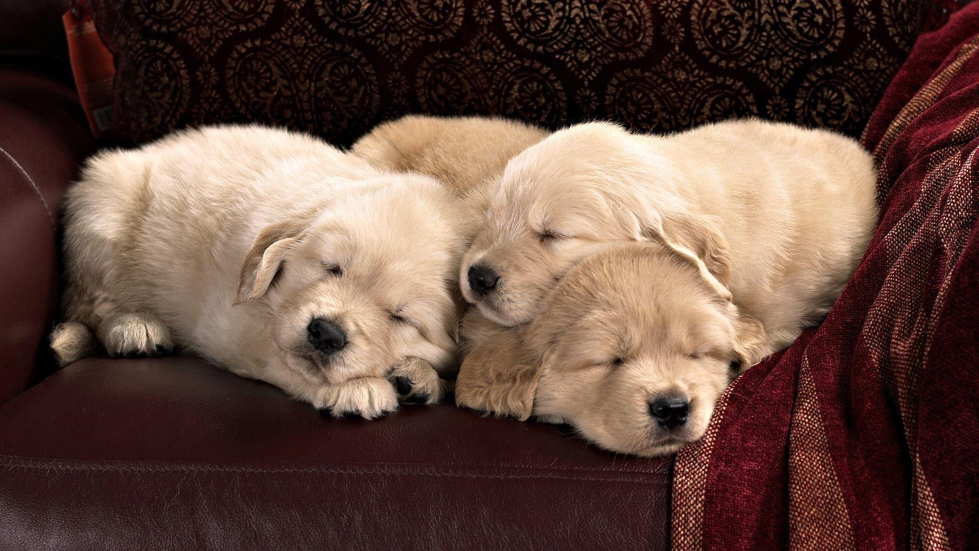 Sleeping Golden Retriever Puppies Wallpaper Cute Dogs Cute Puppies