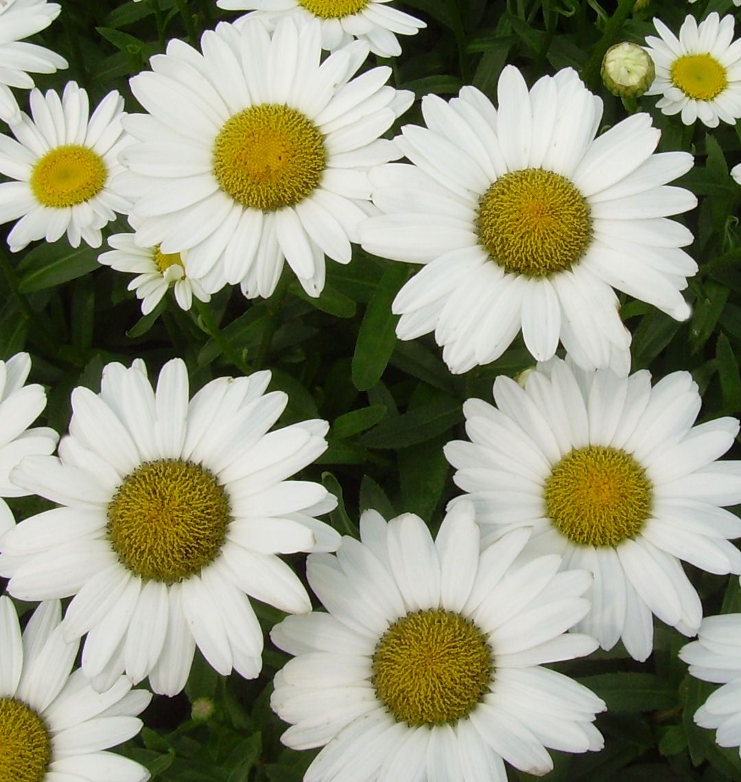 Summer Flowering Perennial With Large Daisy Like White Flowers With