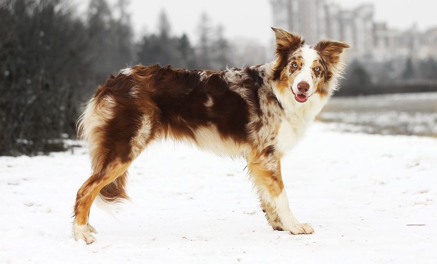 Border Collie Red Merle Tricolor Bordercollie Shetland Sheepdog
