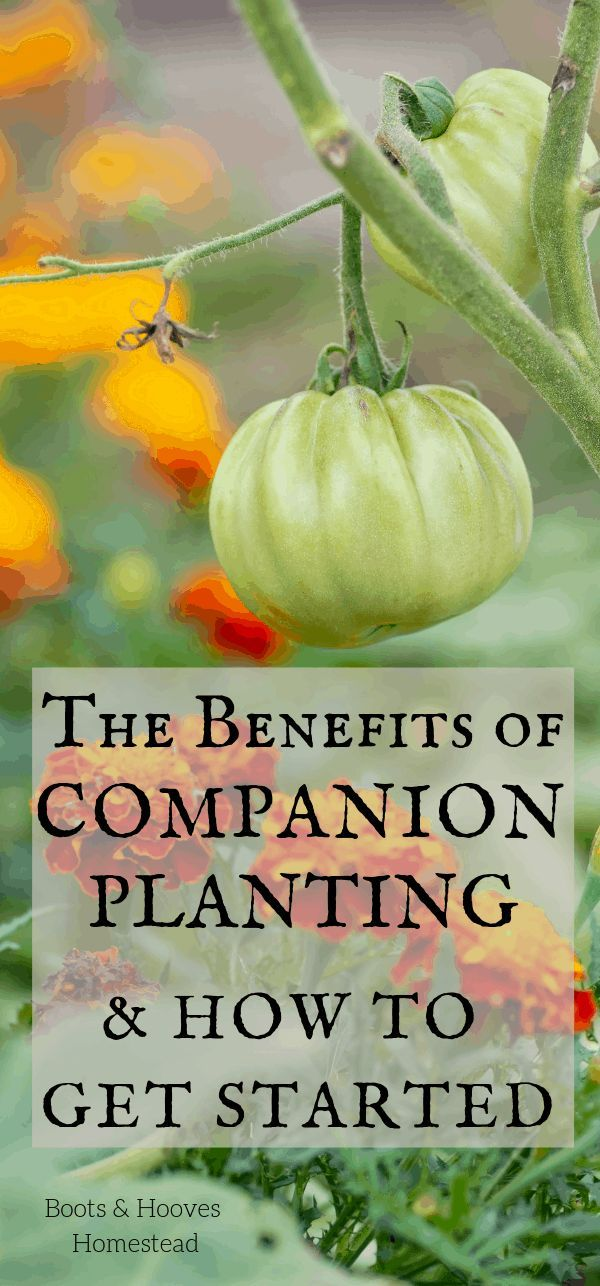 Benefits of Companion Planting How to get started with companion gardening What plants grow well together All of these topics are covered and more Discover the benefits o...