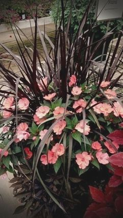 Coral Impatients Amp Purple Grass Nice Combination Plants Container Flowers Garden Containers