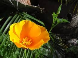 Yellow poppies meaning google search poppies pinterest yellow poppies meaning google search mightylinksfo