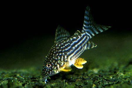 Corydoras Sterbai Sterba S Cory Aquarium Catfish Aquarium Fish Tropical Fish