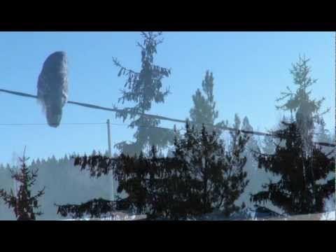 Strix nebulosa video from salo