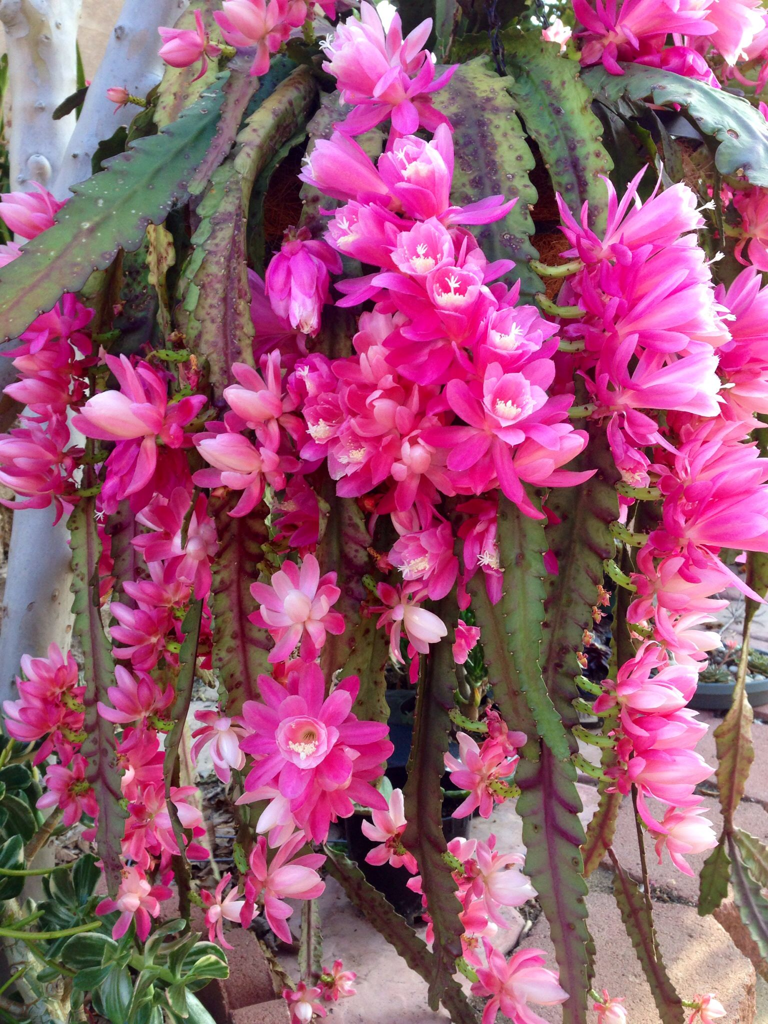Flowers unique flowers beautiful flowers orchid cactus cactus flower - Orchid Cactus Orchid Cactus Orchid Cactuscactus Plantscactus Flowerchristmas Cactusbeautiful Flowersorchidshouseplantsmaysucculents