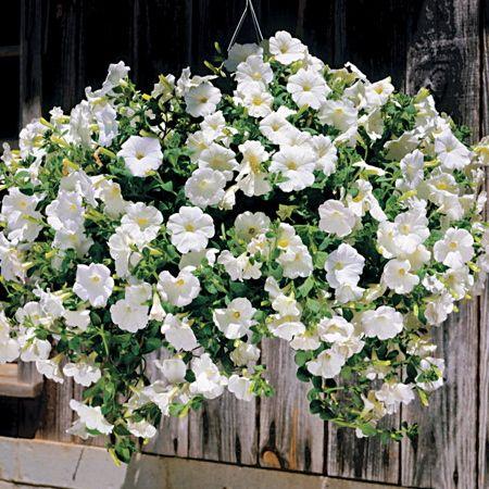Trailing Petunia Seeds 50 Varieties Flower Seeds Petunias Annual Flowers Petunia Flower
