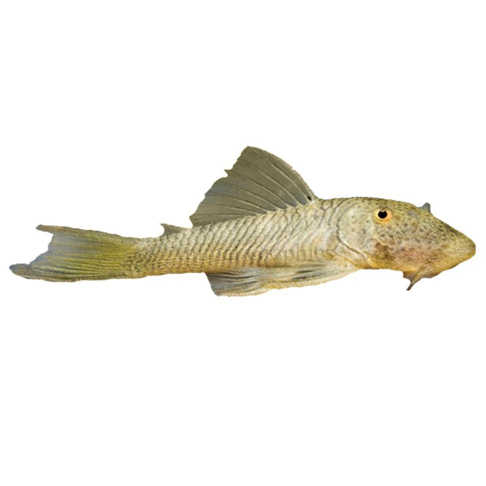 Rubber Lip Plecostomus In 2020 Fish For Sale Pet Fish Plecostomus