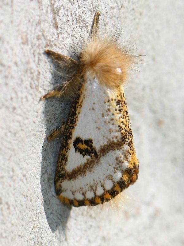 Epicoma Zelotes Male 9282 Schmetterling Insekten