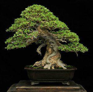 Bali-bonsai-nebari.jpg 300×295 pixels