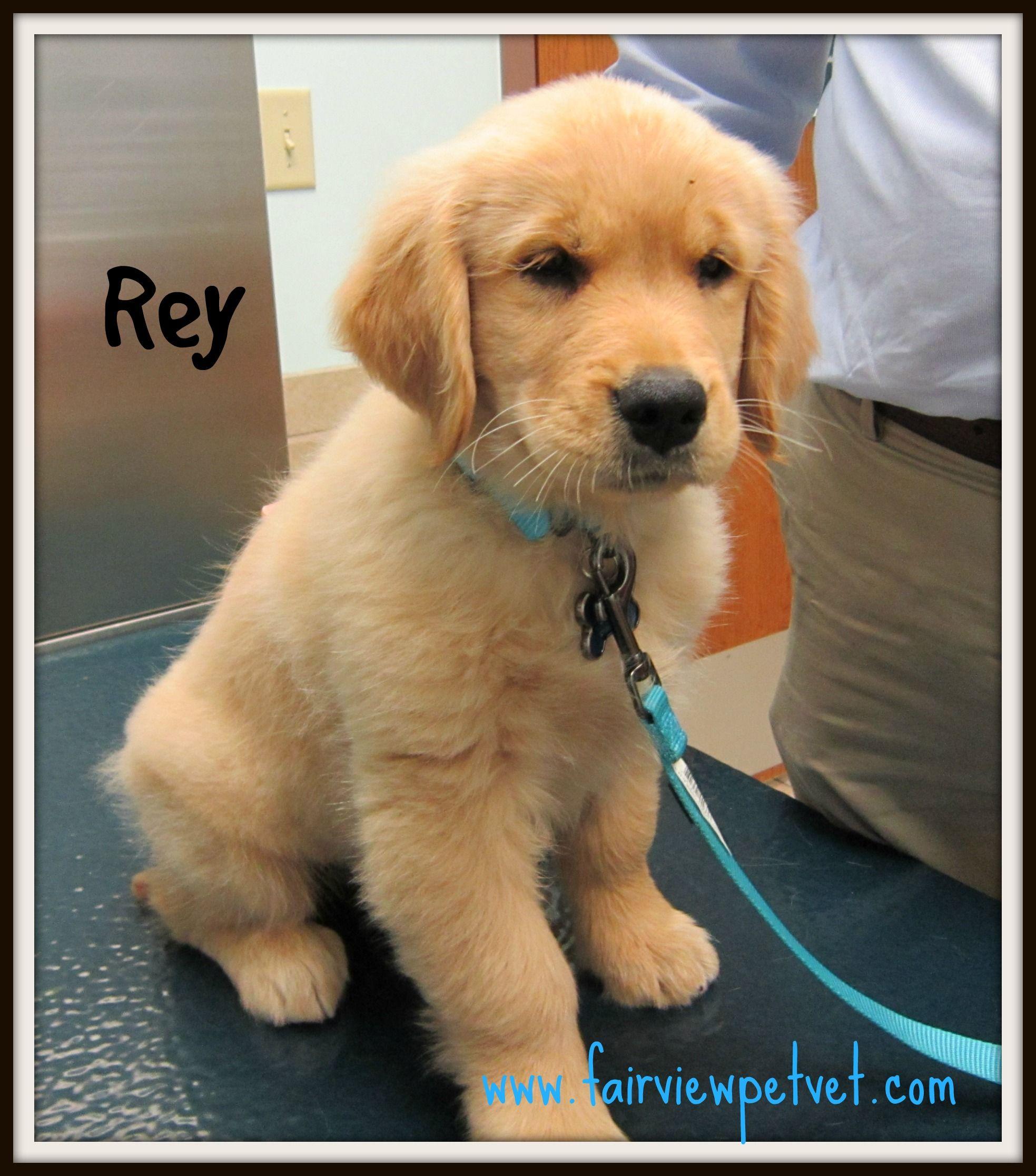 Rey The Golden Retriever Golden Retriever Retriever