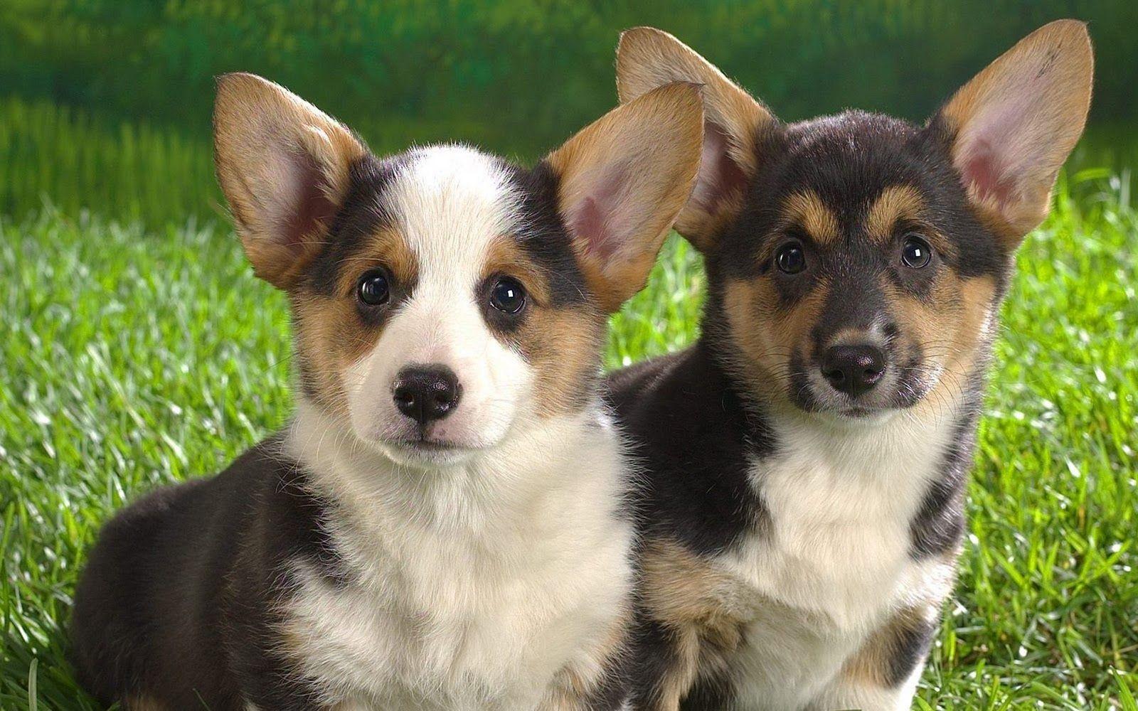 Cardigan Welsh Corgi Corgi Puppies For Sale Welsh Corgi Puppies Corgi Dog
